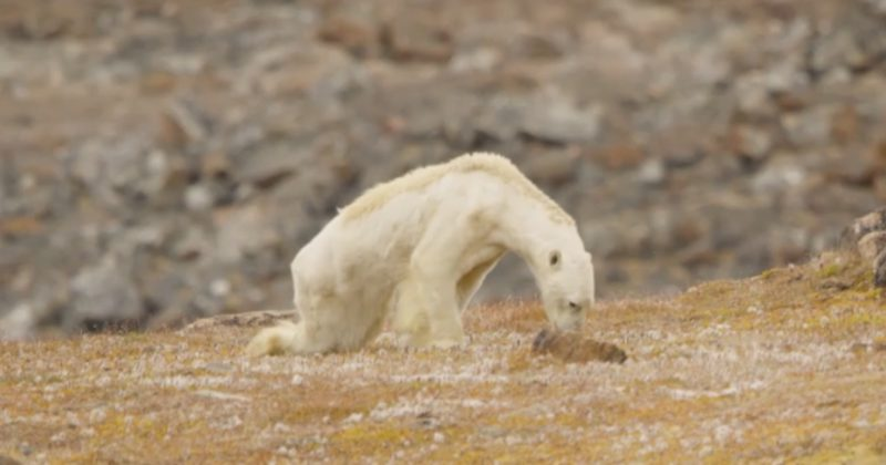 800x420 1513122132 - Photographer's Video Of Starving Polar Bear Shows What Climate Change Looks Like