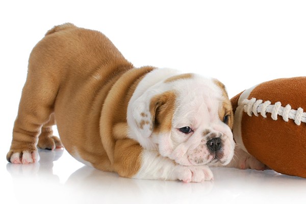 A puppy with a toy - When Do Dogs Stop Growing?