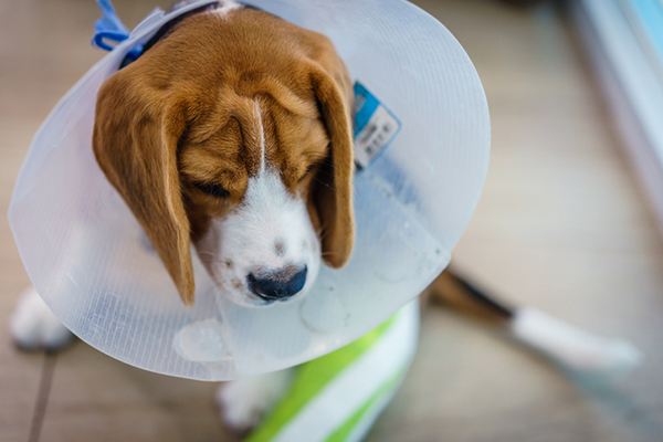 Beagle with a surgey collar - All About Alternative Dog Cancer Treatments