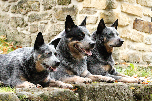 shutterstock 259311698 - What Are the Best Farm Dogs?