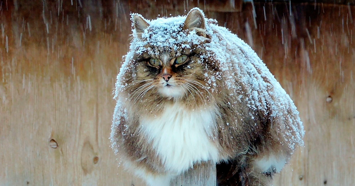 siberian farm cats alla lebedeva fb - Siberian Farm Cats Have Absolutely Taken Over This Farmer's Land, And They're Absolutely Majestic