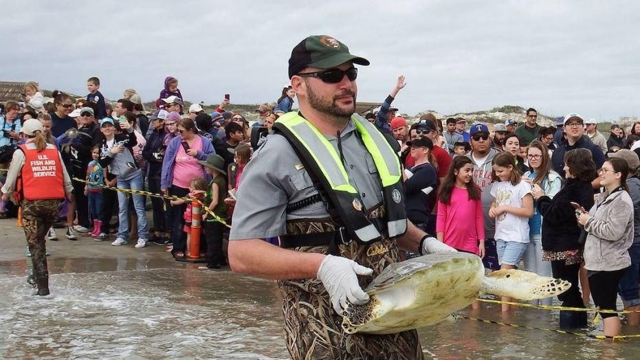 hundreds of rescued sea turtles released back into gulf of mexico - Hundreds of rescued sea turtles released back into Gulf of Mexico