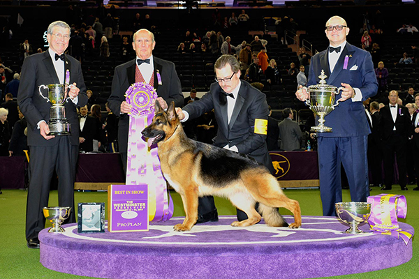 1517540619 881 dug up at dogster february 2018 dog events - Who Will Win the Westminster Kennel Club Dog Show?