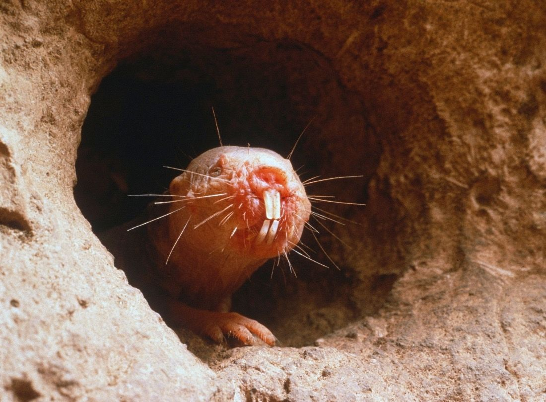 1517621328 weird naked mole rats dont die of old age - Weird: Naked mole rats don't die of old age