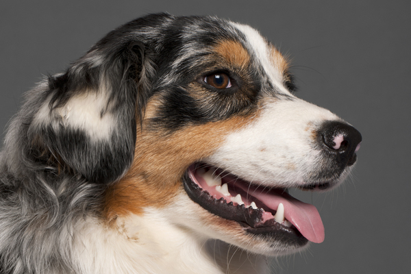 1518478110 dog tooth infection signs and treatments - Dog Tooth Infection Signs and Treatments
